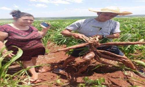 PARAGWAJ / Ciudad del Este / Wioska Indian Guarani / Dwuletni maniok w wiosce Guarani