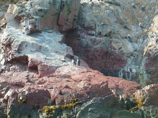 Zdjęcia: Islas Ballestas, pingwiny na Islas Ballestas, PERU