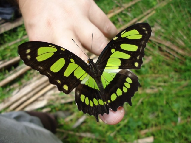 Zdjęcia: okolice Salvacion, Madre de Dios, Motylek, PERU