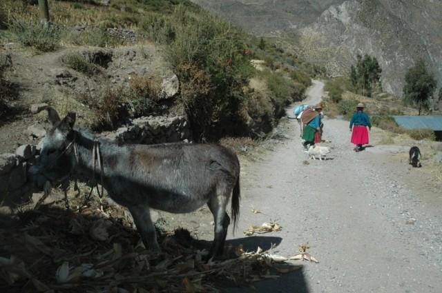 Zdjęcia: Suni, Arequipa, Wioska Suni. Paks zajada się Chalą (zdjęcie do artykułu), PERU