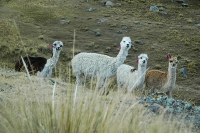 Zdjęcia: Chincayallapa, Arequipa, Alpaki (zdj. do art.), PERU
