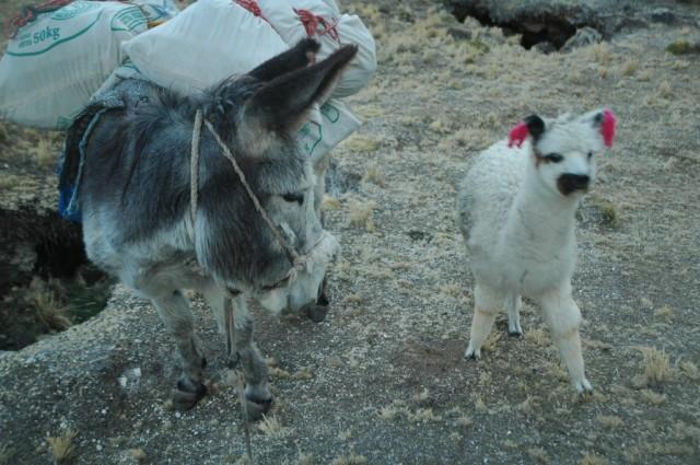 Zdjęcia: Peruwiańskie Andy, Arequipa, Mała zagubiona Alpaczka i nasz Paks (zdjęcie do art), PERU