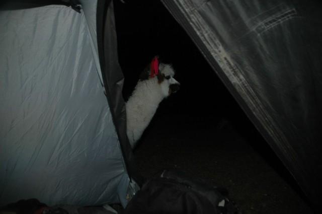 Zdjęcia: Peruwiańskie Andy, Arequipa, Zagubiona Alpaczka. Widok z naszego namiotu (zdj.do art), PERU