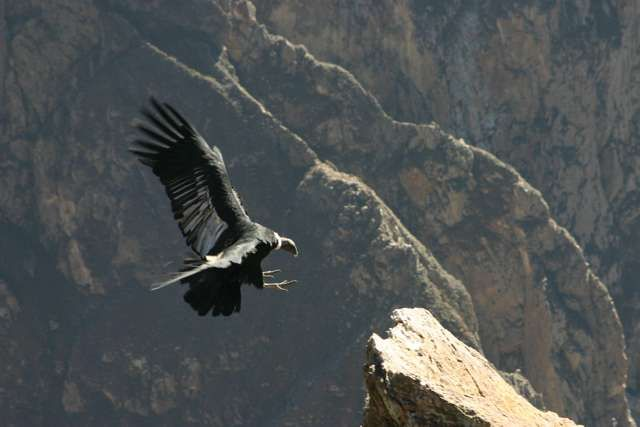 Zdjęcia: Cruz del Condor, Kanion Colca, Lądujący kondor, PERU