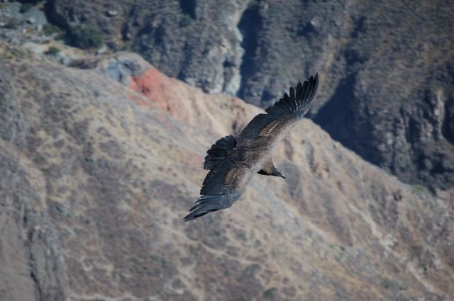 Zdjęcia: Okolice Arequipy, Kanion Colca, Młody kondor, PERU