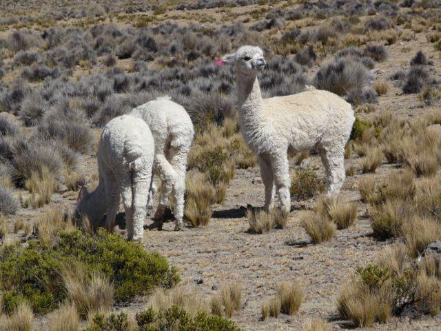Zdjęcia: w drodze do Kanionu Colca, ok Arequipa, alpaki na altiplano, PERU