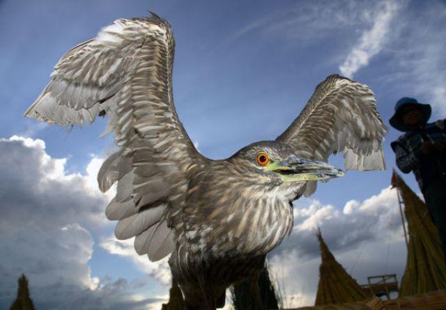 Zdj�cia: Oswojony ptak do po�owu ryb z wysp UROS na j.TITITACA, :STRACH SIE BA� :, PERU