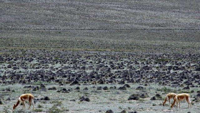 Zdjęcia: Rezerwat WIGONII, oko.Kanionu COLCA, Wigonie, PERU