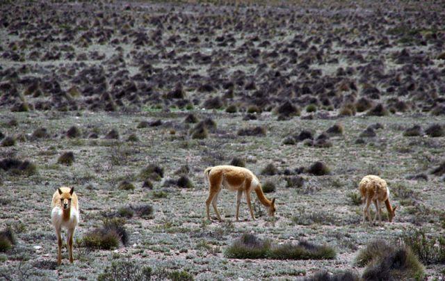 Zdjęcia: Rezerwat WIGONII, Wigonie, PERU