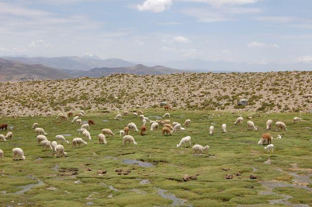 Zdjęcia: w drodze do Colca, w drodze do Colca, Przyszłe sweterki, PERU