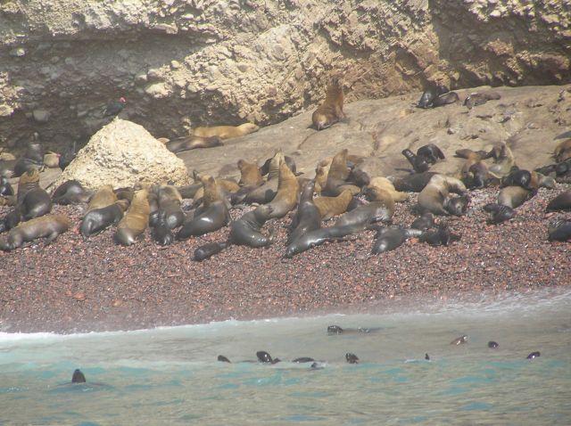 Zdj�cia: Islas Ballestas, w pobli�u Pisco, lwy morskie, PERU