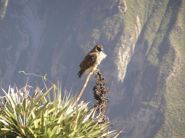 Zdjęcia: kanion Colca, sokół, PERU