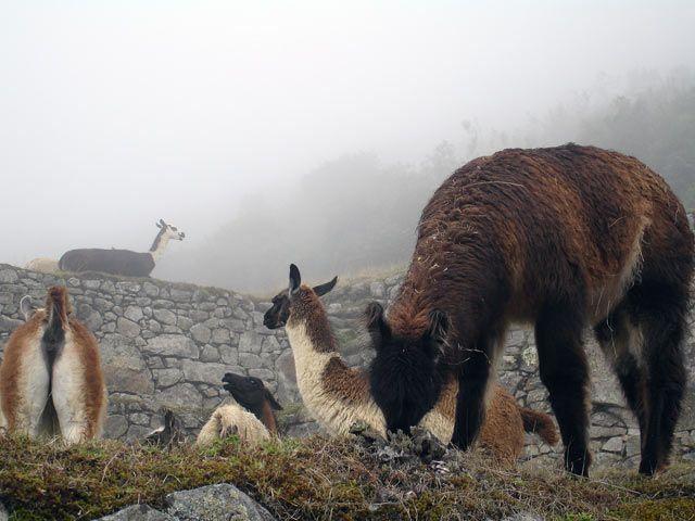 Zdjęcia: Machu Picchu, Lamy, PERU