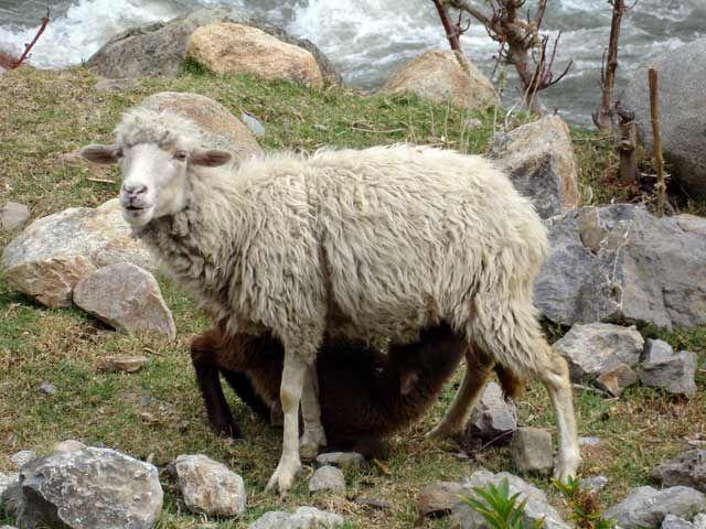 Zdjęcia: Okolice Huaraz, Owca karmiace mloda owieczke, PERU