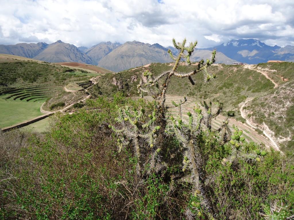 Zdjęcia: Moray, Cuzco, Krajobraz z kaktusem, PERU