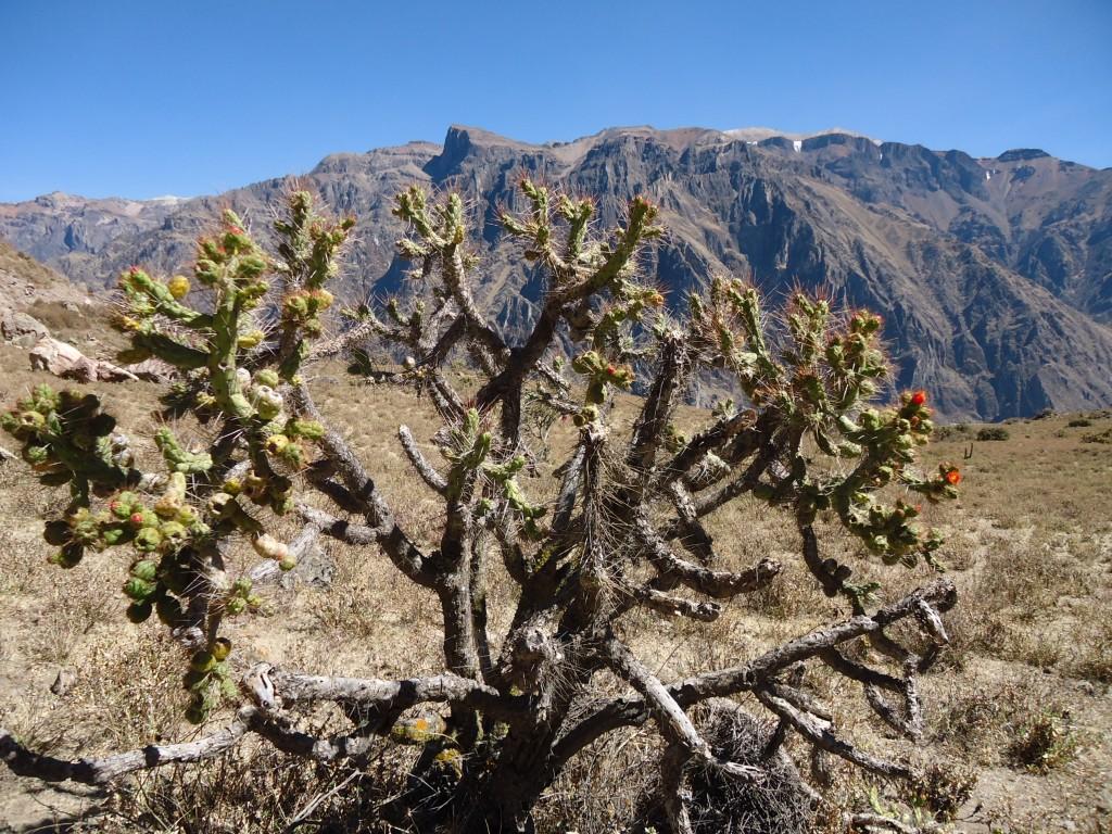 Zdjęcia: okolice Chivay, Arequipa, Kaktus, PERU