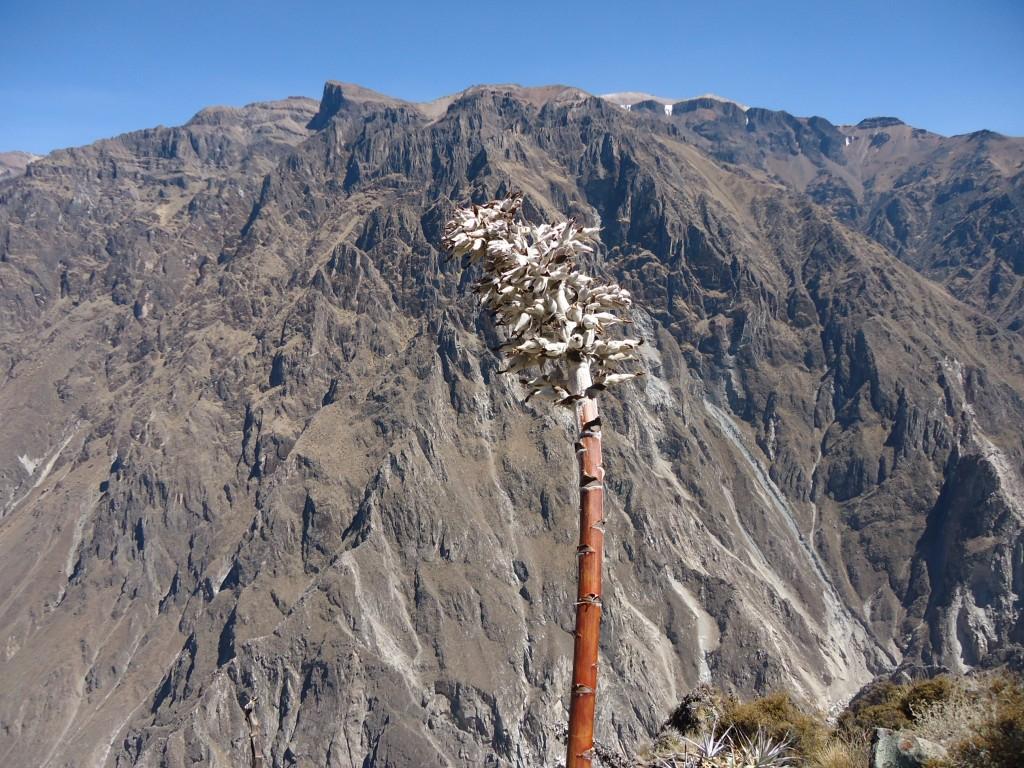 Zdjęcia: okolice Chivay, Arequipa, Roślinka (2), PERU