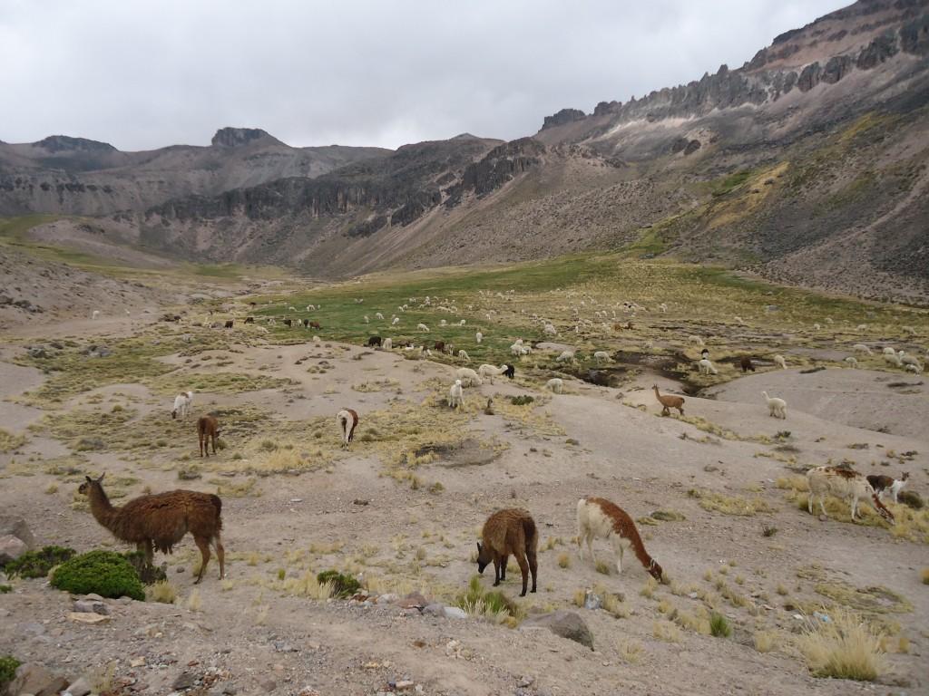 Zdjęcia: Mirador de los Andes, Arequipa, Dolina z alpakami, PERU