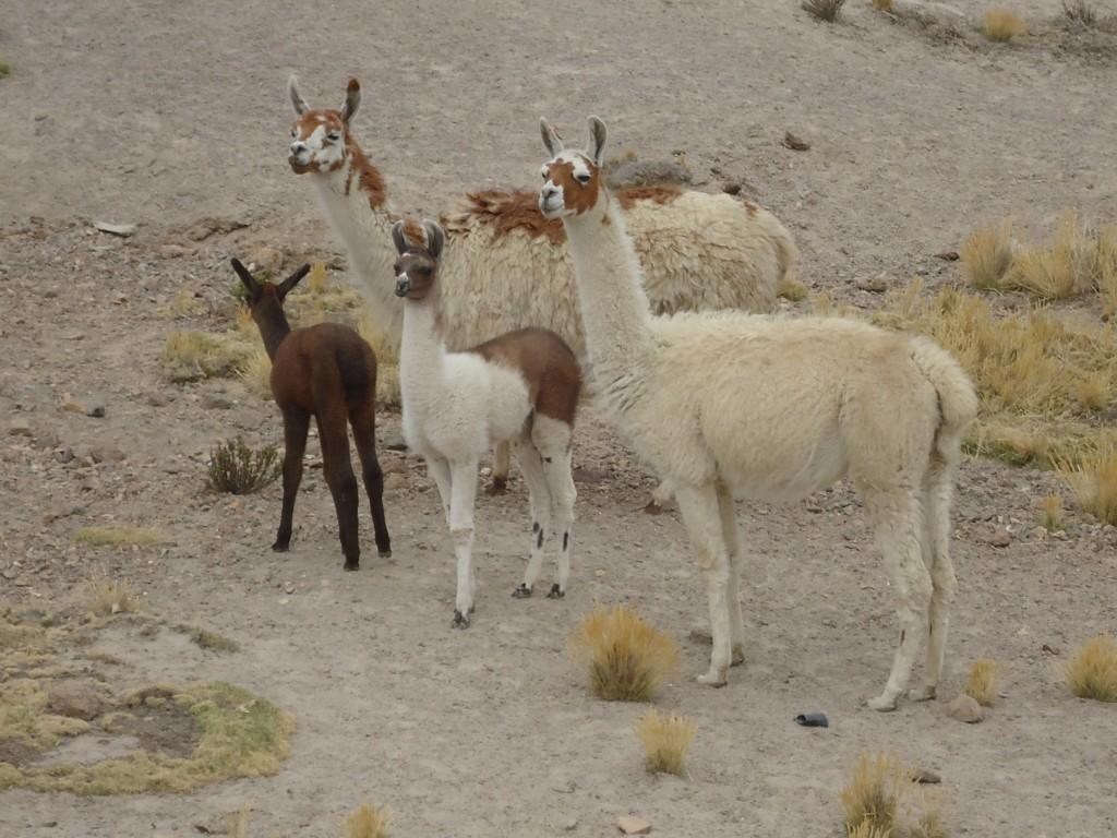 Zdjęcia: Mirador de los Andes, Arequipa, Alpaki, PERU