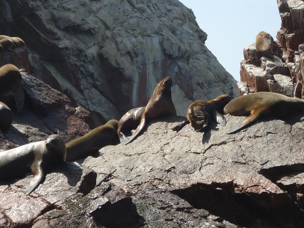 Zdjęcia: Islas Ballestas, Ica, Foki, PERU