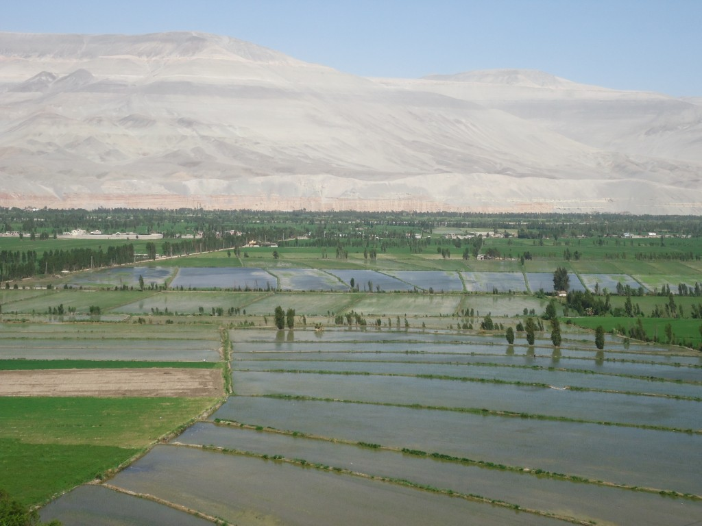 Zdjęcia: Corire, Arequipa, Pola ryżowe, PERU