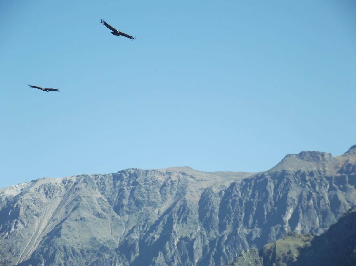 Zdjęcia: Kanion Colca, Arequipa, Kondory w kanionie, PERU