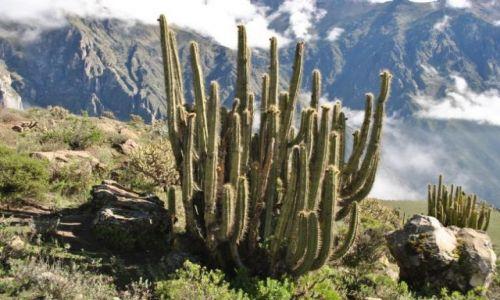 Zdjęcie PERU / Colca / Canion Colca / kaktus....
