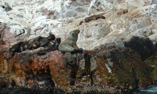 Zdjecie PERU / brak / Islas Ballestas / lwy morskie na Islas Ballestas