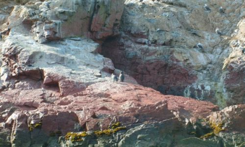 Zdjecie PERU / brak / Islas Ballestas / pingwiny na Isl