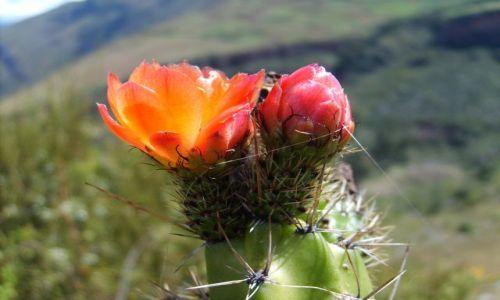 Zdjecie PERU / brak / Pisac / kaktus