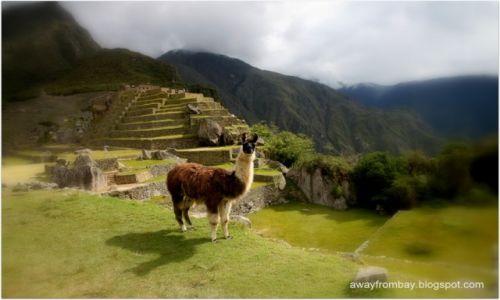 Zdjecie PERU / Cuzco / Machu Picchu / Lamy na Machu Picchu
