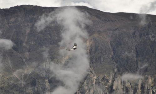 Zdjęcie PERU / Canion Colca / Cruze del condor / Szybujacy kondor