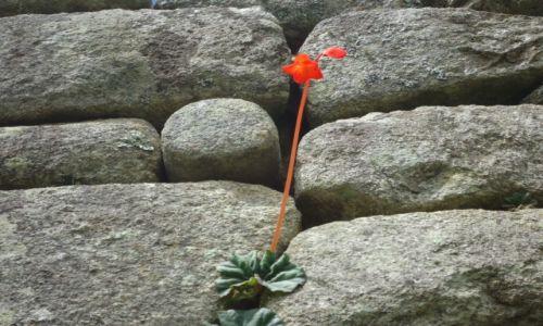 Zdjecie PERU / Cuzco / Machu Picchu / Roślinka