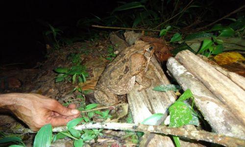 Zdjęcie PERU / Madre de Dios / okolice Salvacion / Żabka