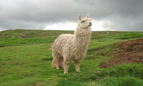 Zdjecie PERU / Cuzco / Cuzco, Saqsayhuaman / Alpaka