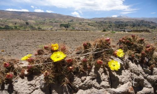 Zdjecie PERU / Arequipa / Aguas Termales Chacapi / Kaktusy