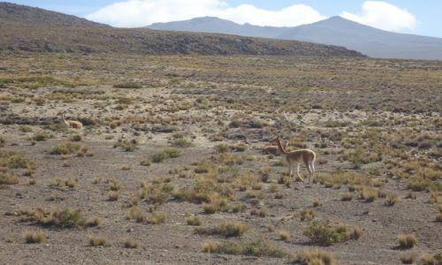 Zdjecie PERU / Arequipa / Salinas y Aguada Blanca National Reserve / Wikunie