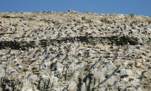 Zdjecie PERU / Ica / Islas Ballestas / Ptaki