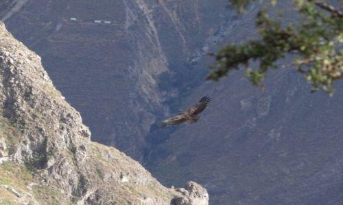 Zdjęcie PERU / Kanion Colca / Krzyż Kondorów / Królewski ptak-Kondor