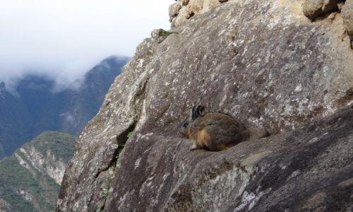 Zdjęcie PERU / Machu Picchu / MP / Wiskacz-takie połączenie królika i wiewiórki