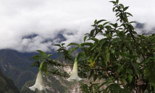 Zdjęcie PERU / Peru / Machu Picchu / Rosliny Peru-2