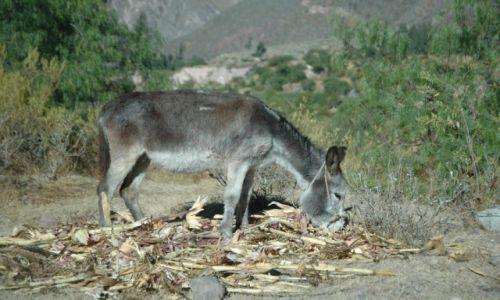 PERU / Arequipa / Cotahuasi / Paks zajada się chalą