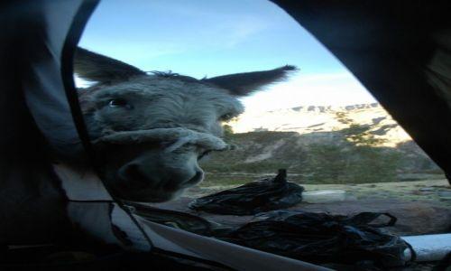 PERU / Arequipa / Puyca / Poranna wizyta Paksa w naszym namiocie (zdjęcie do artykułu)
