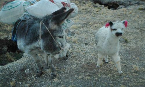 Zdjęcie PERU / Arequipa / Peruwiańskie Andy / Mała zagubiona Alpaczka i nasz Paks (zdjęcie do art)
