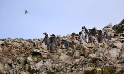 Zdjęcie PERU / Wybrzeże południowe / Islas Ballestas / Chociaż raz polecieć....