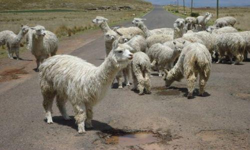 Zdjęcie PERU / Puno / okolice Puno / Znowu korek