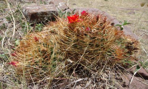 Zdjęcie PERU / Puno / Sillustani / Kaktus