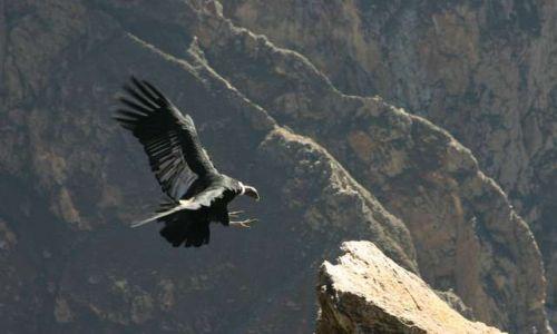 Zdjęcie PERU / Kanion Colca / Cruz del Condor / Lądujący kondor