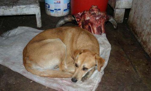 Zdjecie PERU / brak / Targ w Cuzco/ dział mięsny / pies i...