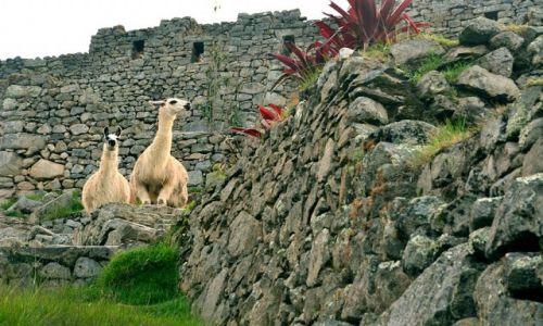 Zdjęcie PERU / Cuzco / Machu Picchu / Lamy